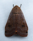 Noctua pronuba - 11003.1 - Large Yellow Underwing