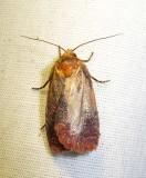 Evora hemidesma  - 2866 - Evora hemidesma (possible ID)