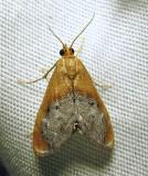 Chalcoela iphitalis - 4895 - Sooty-winged Chalcoela Moth