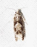 Pseudexentera spoliana - 3251 -  Bare-patched Oak Leafroller Moth