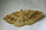 Homochlodes fritillaria - 6812 - Pale Homochlodes