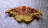 Oreta rosea - 6255 - Rose Hooktip Moth