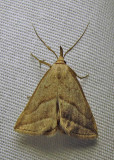 Macrochilo absorptalis - 8357 - Slant-lined Owlet