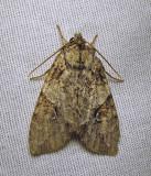 Morrisonia latex - 10291 -Fluid Arches moth- view 1