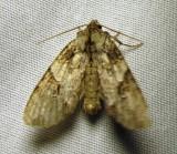 Morrisonia latex - 10291 -Fluid Arches moth - view 2