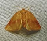 Tortricidia testacea - 4652 - Early Button Slug Moth - view 1
