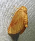 Tortricidia testacea - 4652 - Early Button Slug Moth - view 2