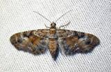 Eupithecia anticaria - 7594 B