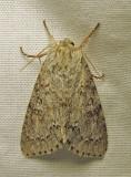 Acronicta dactylina - 9203 - Fingered Dagger Moth