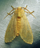 Halysidota tessellaris - 8203 - Banded Tussock Moth