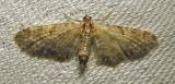 Eupithecia subfuscata (possible - worn specimen) - 7487