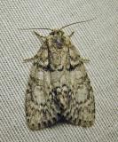 Acronicta retardata - 9251 - Retarded Dagger Moth