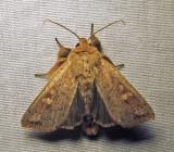Leucania pseudargyria - 10462 - False Wainscot