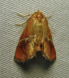 Lithacodes fasciola - 4665 - Yellow-shouldered Slug moth