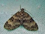 Spargania magnoliata ruptata - 7312 - Double-banded Carpet Moth