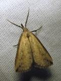 Macrochilo orciferalis - 8360 - Bronzy Macrochilo