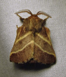 Malacosoma americana - 7701 - Eastern Tent Caterpillar moth