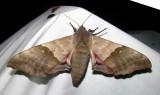 Pachysphinx modesta - 7828 - Big Poplar Sphinx - view 1
