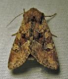 Fishia illocata - 9420 - Wandering Brocade moth