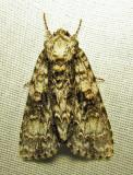 Acronicta superans - 9226 - Splendid Dagger Moth