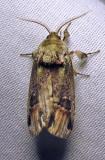Schizura unicornis - 8007 - Unicorn Caterpillar Moth - view 1