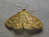 Herpetogramma pertextalis - 5275 - Bold-feathered Grass Moth