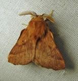 Malacosoma disstria - 7698