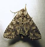 Polia imbrifera (?) - 10276 - Cloudy Arches Moth - view 2