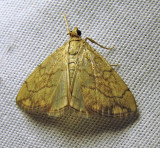 Evergestis pallidata - 4897 - Purple-backed Cabbageworm Moth