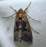 Syngrapha orophila - 8930  - Syngrapha orophila - view 2