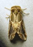 Habrosyne scripta - 6235 - Lettered Habrosyne Moth - view 1