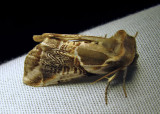 Habrosyne scripta - 6235 - Lettered Habrosyne Moth - view 2