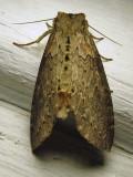 Pseudothyatira cymatophoroides - 6237 - Tufted Thyatirid - view 2