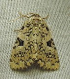 Leuconycta diphteroides - 9065 - (?) - if so, it is a very pallid, ivory individual - perhaps worn