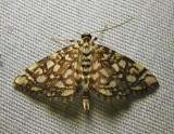 Lygropia rivulalis - 5250 - Bog Lygropia Moth
