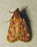 Aglossa cuprina - 5518 - Grease Moth