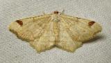 Macaria bisignata - 6342 - Red-headed Inchworm Moth