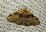 Metalectra quadrisignata ?? - 8500 - Four-spotted Fungus moth (worn)