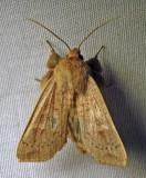 Leucania pseudargyria (?) - 10462 - False Wainscot (?)