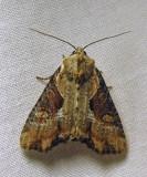 Lateroligia ophiogramma - 9385.1