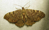Rheumaptera prunivorata - 7292
