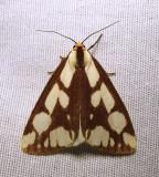 Haploa confusa - 8112 - Confused Haploa Moth - view 1