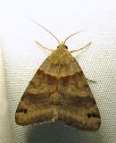 Caenurgina crassiuscula - 8738 - Clover Looper