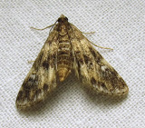 Synclita obliteralis (?) - 4755 - Waterlily Leafcutter Moth (?)