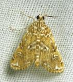Elophila gyralis - 4751 - Waterlily Borer Moth (?)