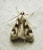 Parapoynx maculalis - 4759 - Polymorphic Pondweed Moth