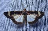 Heliomata cycladata - 6261 - Common Spring Moth