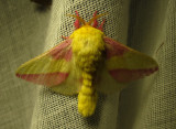 Dryocampa rubicunda - 7715 - Rosy Maple