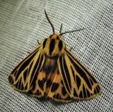 Grammia virguncula - 8175 - Little Virgin Tiger Moth