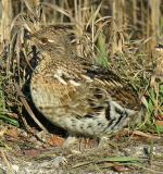 Ruffed Grouse -- Bonasa umbellus